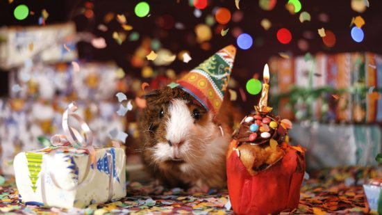 guinea pig in birthday hat