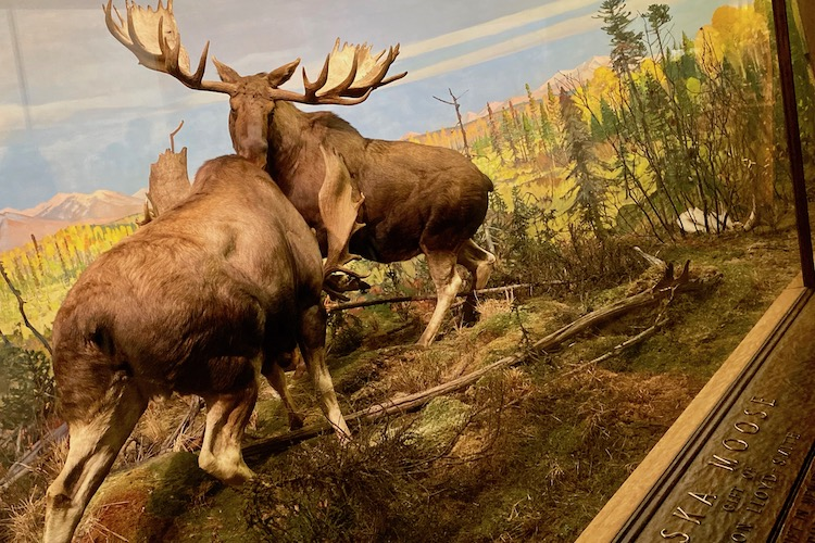 moose diorama at the American Museum of Natural History, one of the attractions you can visit with a CityPASS in NYC