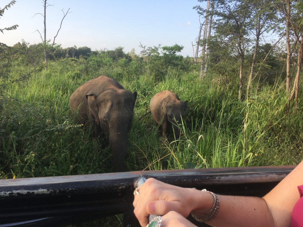 elephants viewed from a jeep safari at Minneriya national park Sri Lanka