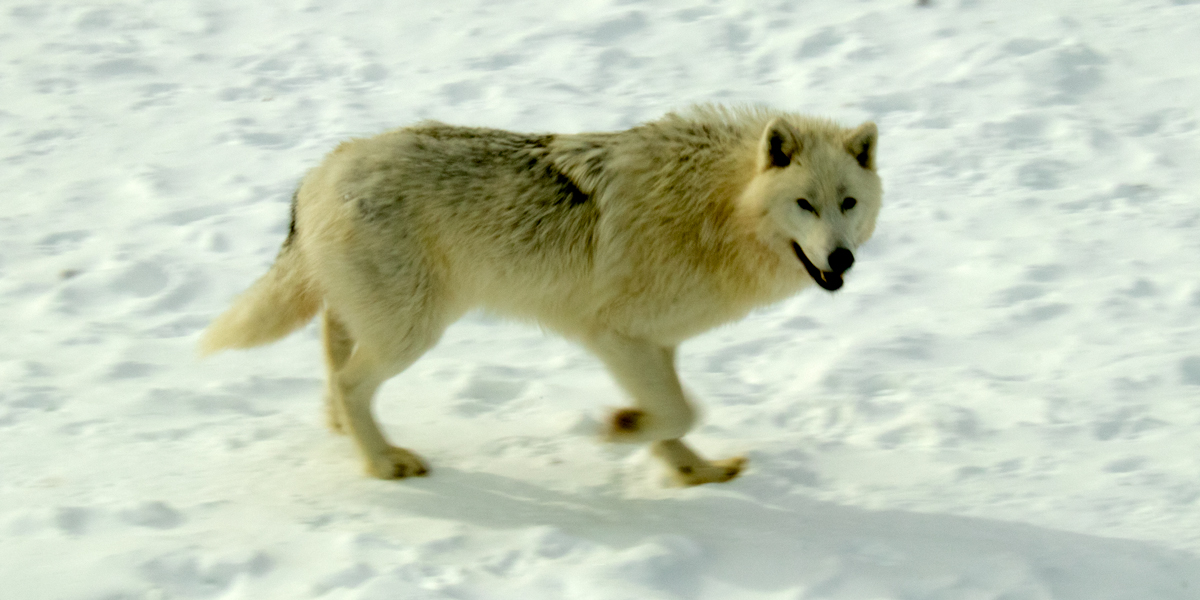 photo, arctic wolf in snow.