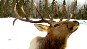 photo, bull elk sticking out tongue.