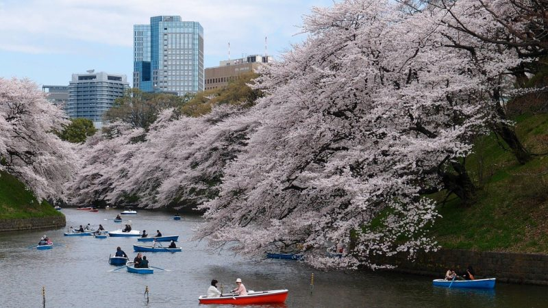 rowboats going under cherry blossoms in Tokyo