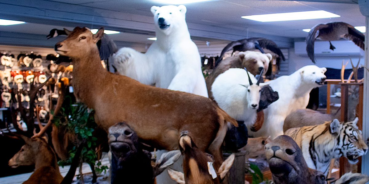 photo, taxidermy display at Bilodeau, Normandin, Quebec, Candada