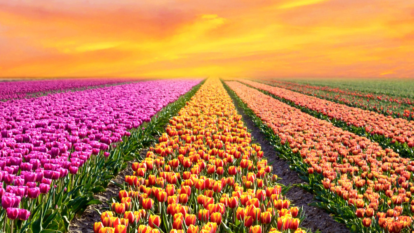 Colorful field of tulips in the spring