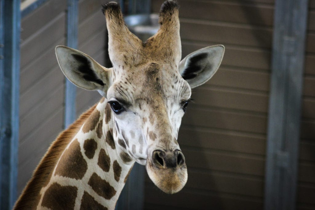 Easy road trips from Atlanta George to Chattanooga Zoo to meet a giraffe.