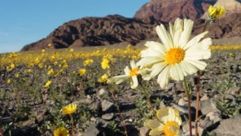 Spring wildflowers in Death Valley