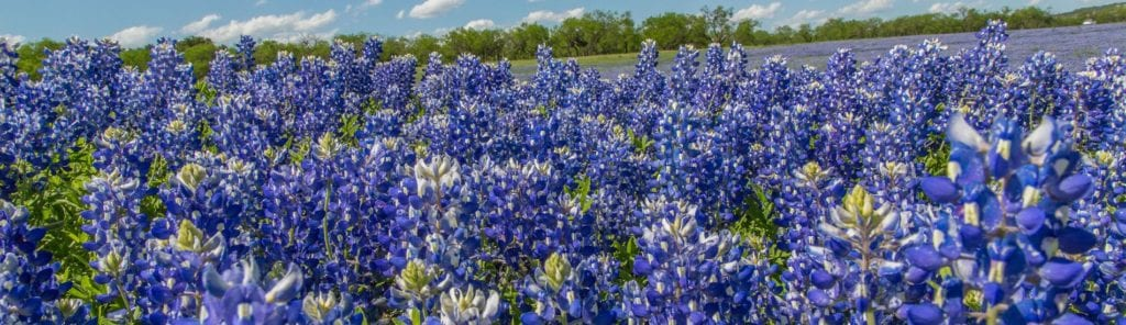 If you're planning Texas road trips in spring, you'll see Bluebonnets