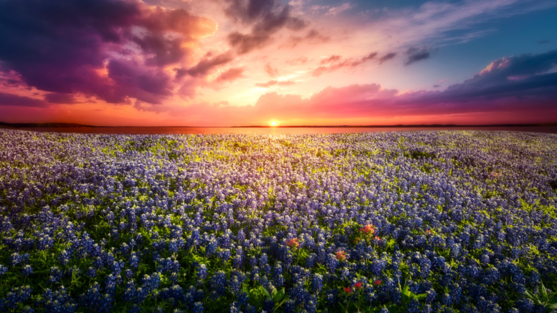 Sunset over the bluebonnet flowers in Texas
