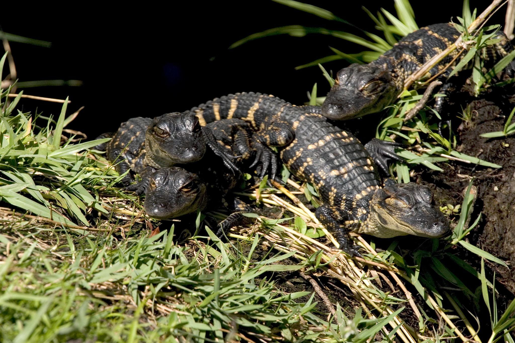 Baby alligators at Shark Valley in Florida.
