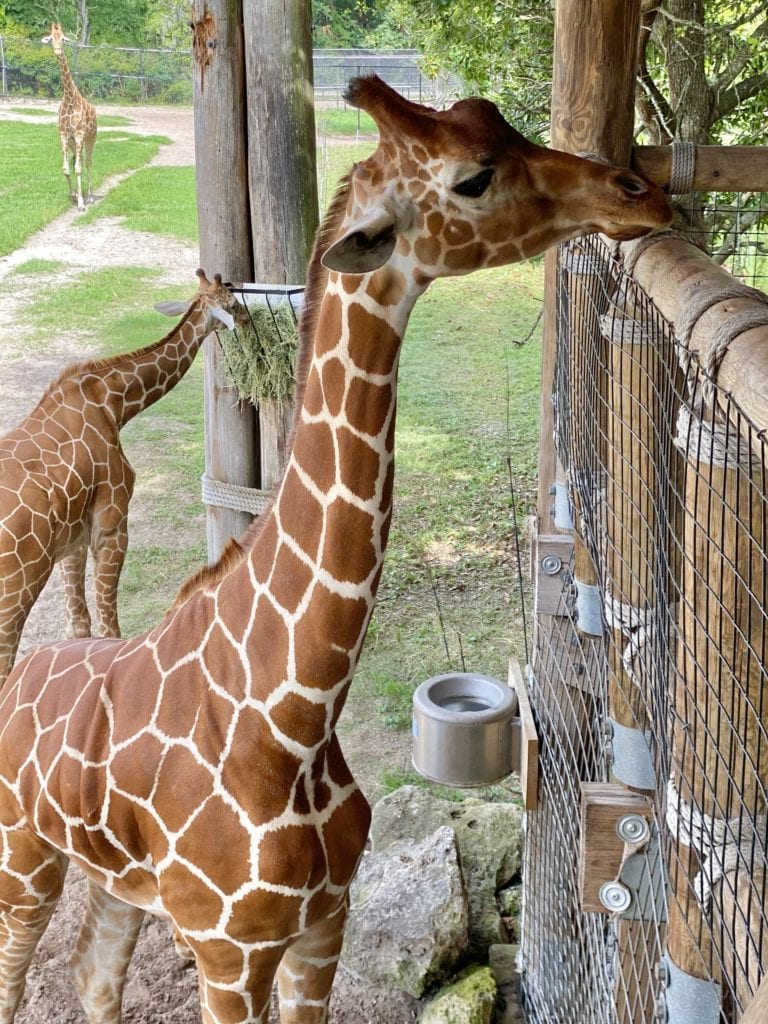 Feed a giraffe at the Jacksonville Zoo and Gardens