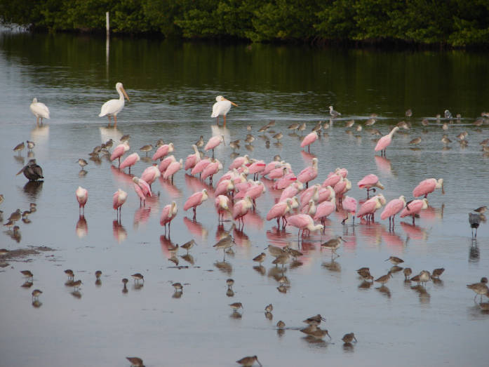 Exploring Florida's Wildlife - Roseate spoonbills, white pelicans and shorebirds at Ding Darling National Wildlife Refuge.