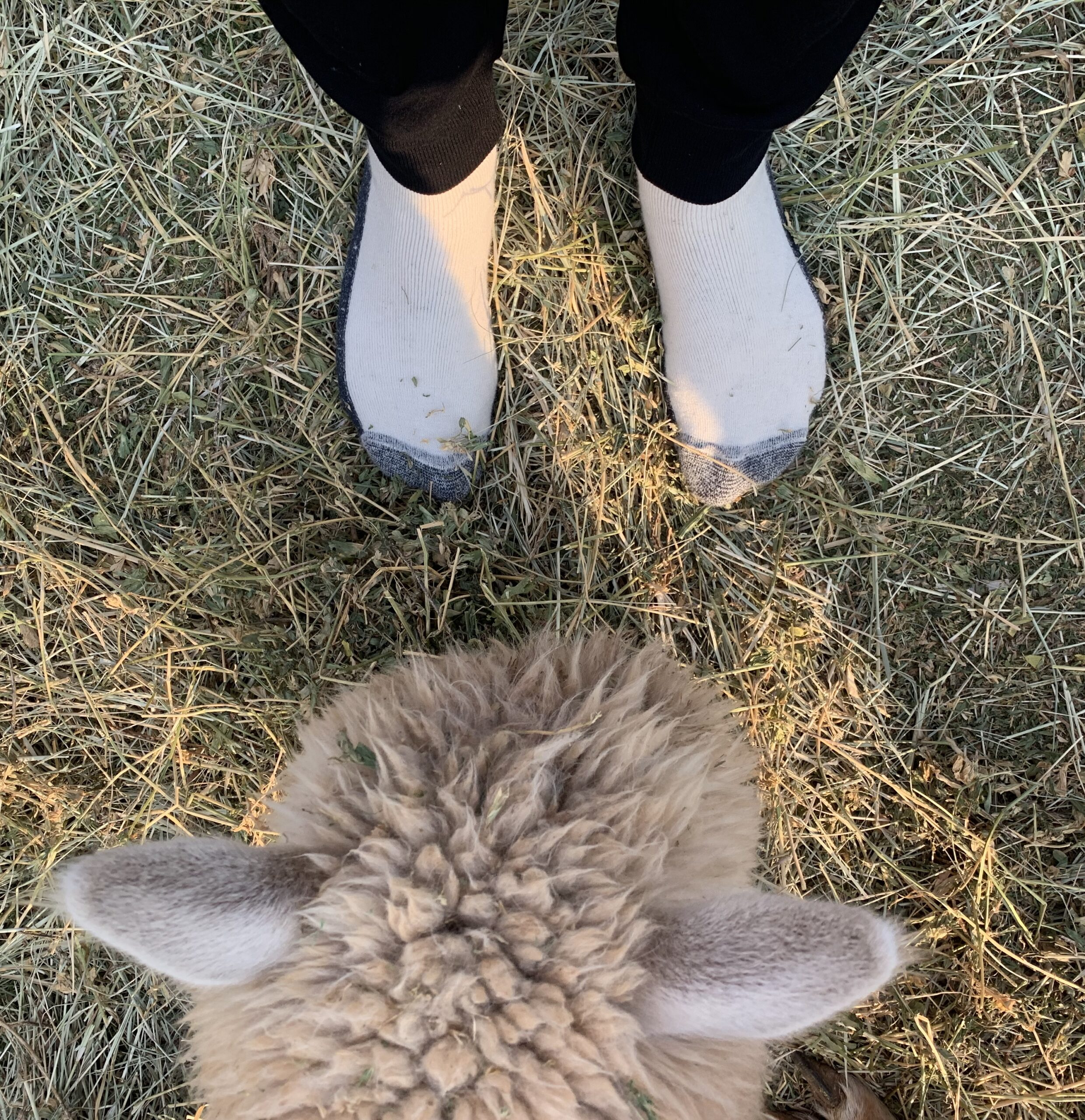 Alpaca examines socks at a Harvest Hosts member site