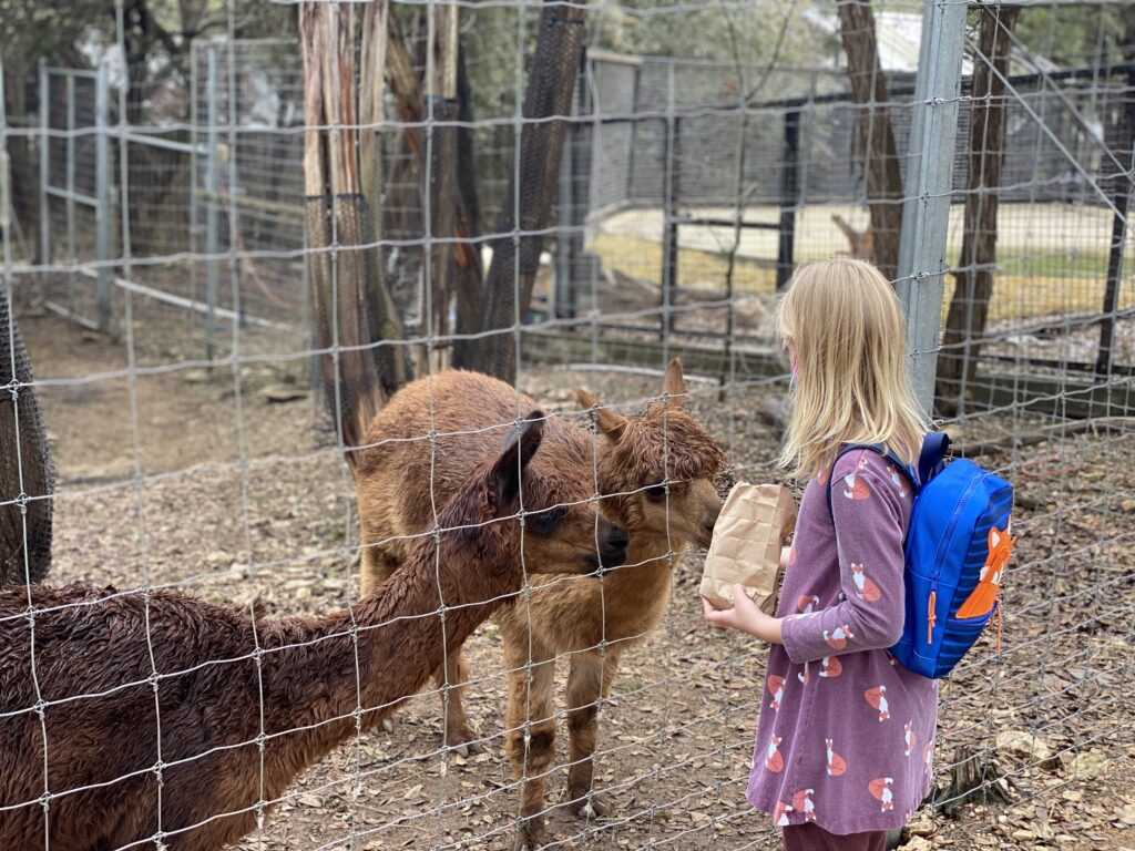 Girl feeding at alpaca at Austin Zoo, one of the best things to do in Austin with kids.