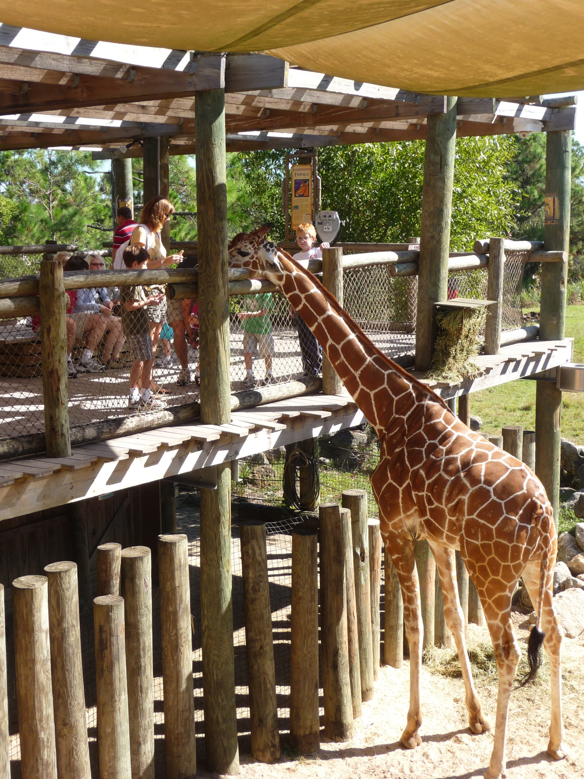 a giraffe greeting children at the Brevard Zoo, a fun thing to do with kids in Orlando