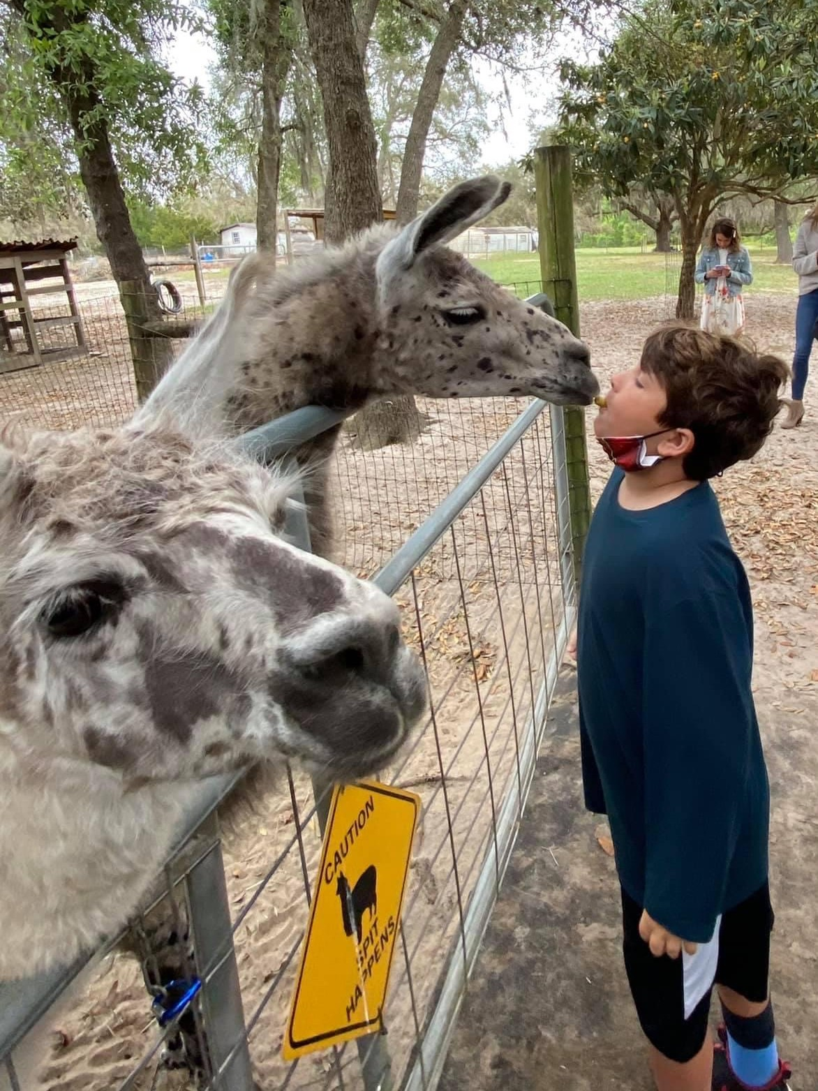 boy kissing an alpaca, a fun thing to do with kids in Orlando