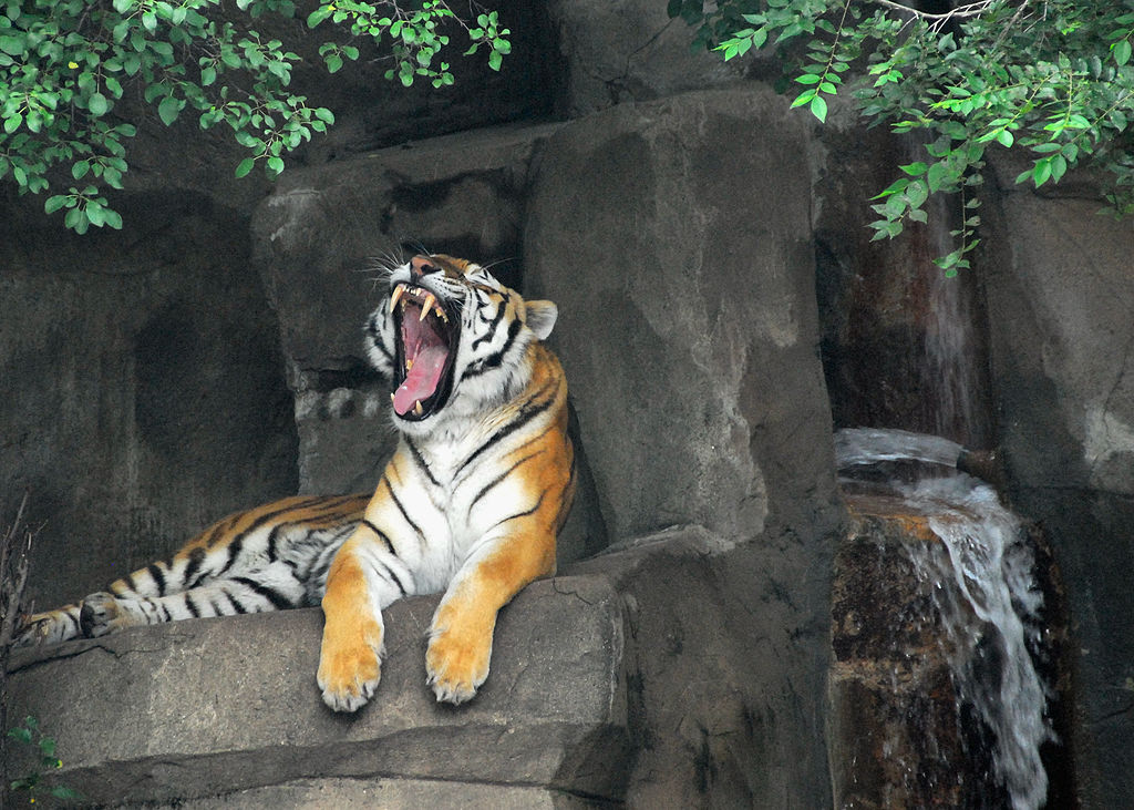 A tiger at Brookfield Zoo, one of the best zoos in the US