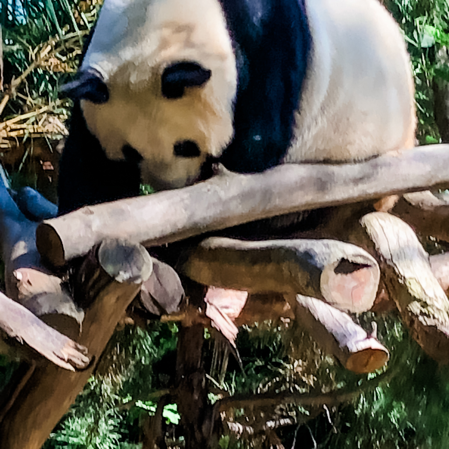 Giant panda at the San Diego Zoo, one of the best zoos for kids in the USA