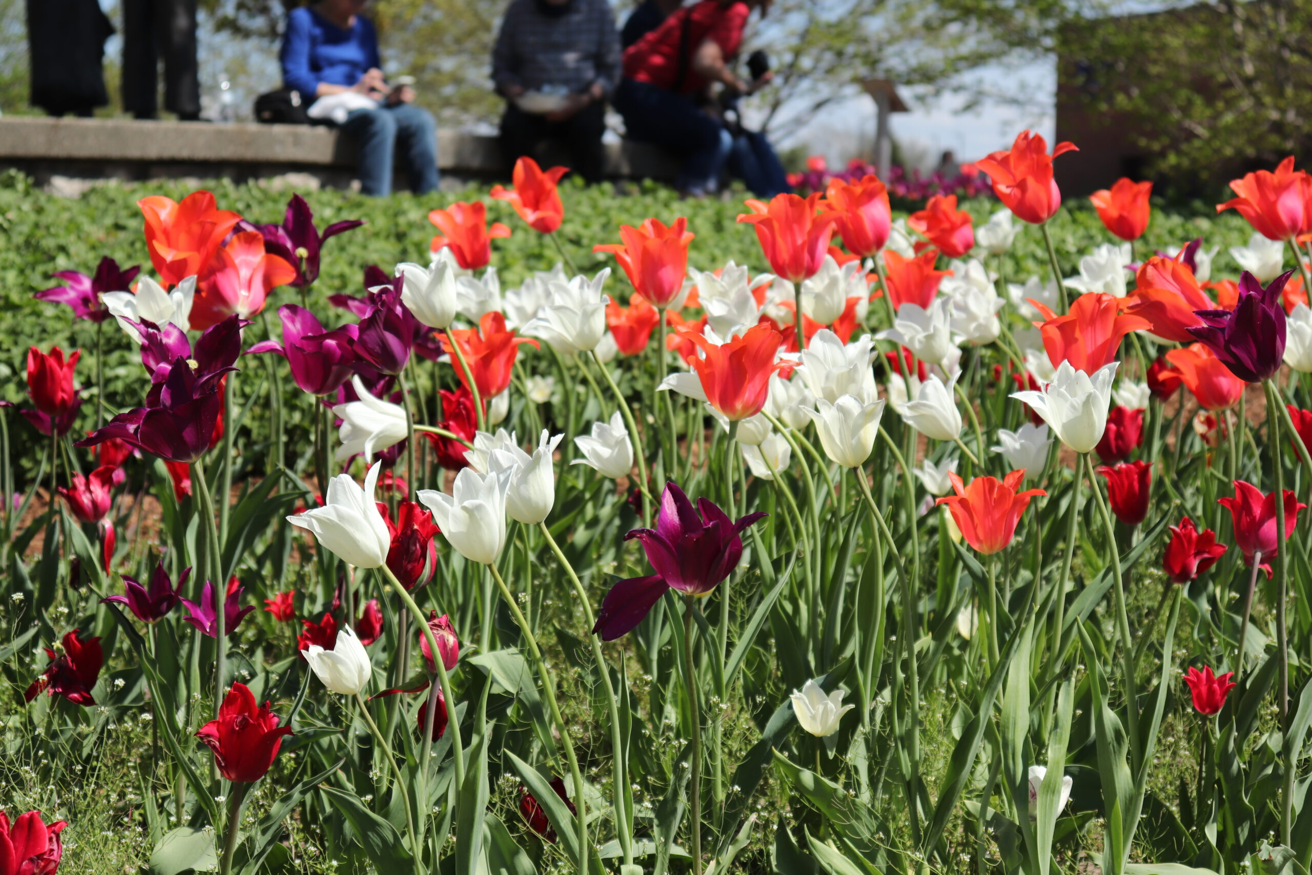 Tulips blooming in downtown Holland,MI