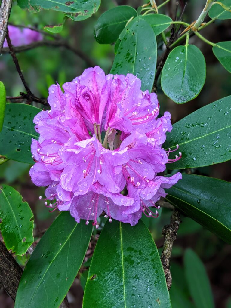 a purple Catawba rhododendron flower found in New River Gorge National Park.