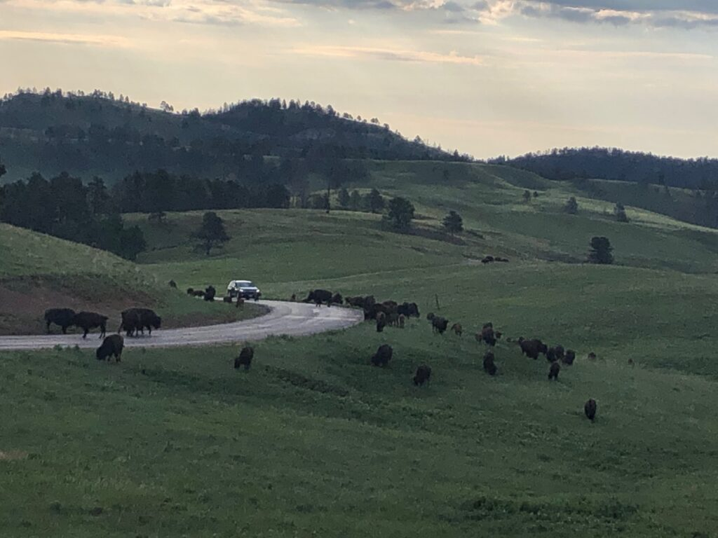 Horizon with bison and the Custer State Park Wildlife Loop Road