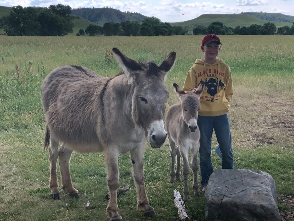 Burros in Custer State Park with visitors