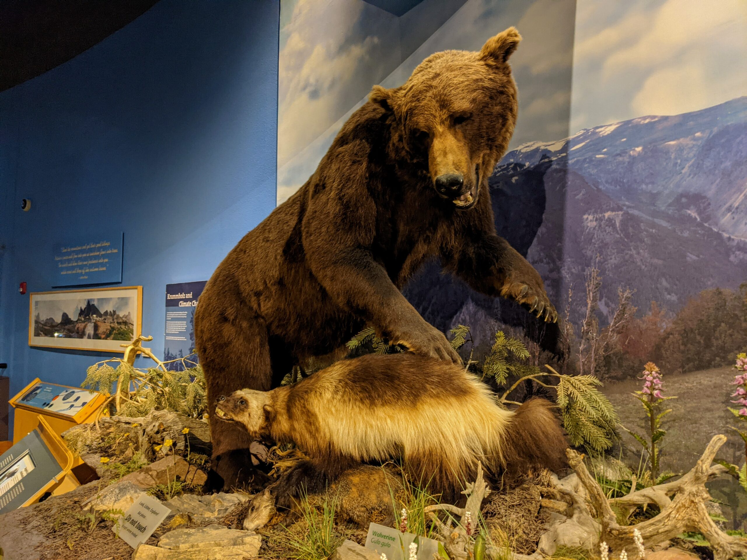 Bear exhibit at the Draper Natural History Museum, one of the best things to do in Cody Wyoming
