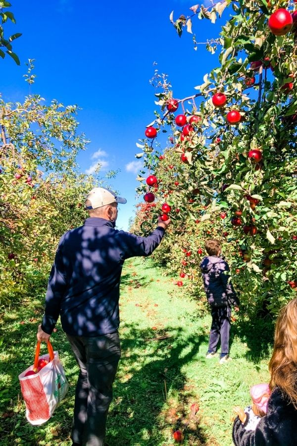 Father and son apple picking in an orchard.