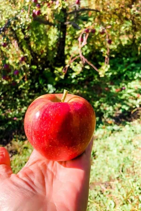 A ripe apple in a hand