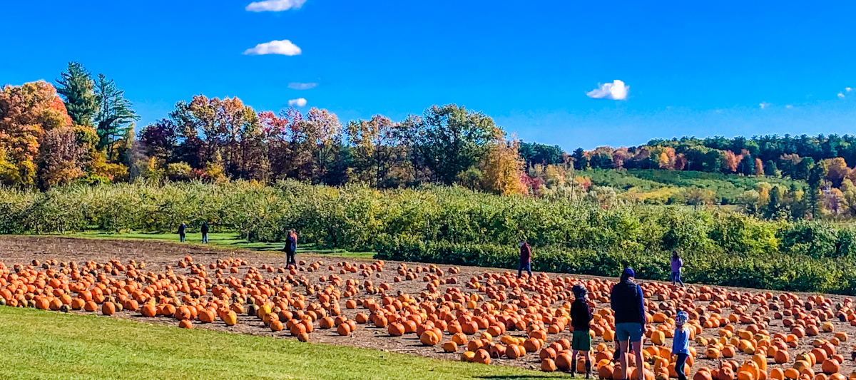 Pumpkins in a patch with a family in the foreground