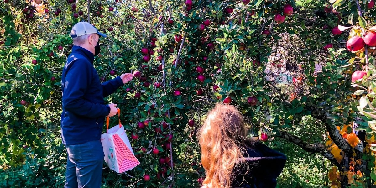 Father and daughter picking apples in an orchard