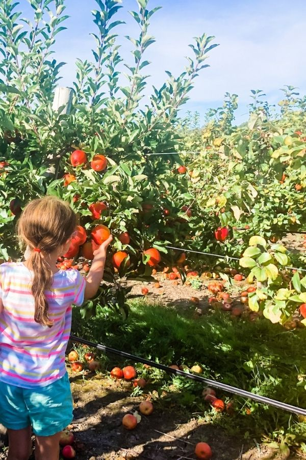 Young girl picking a ripe apple