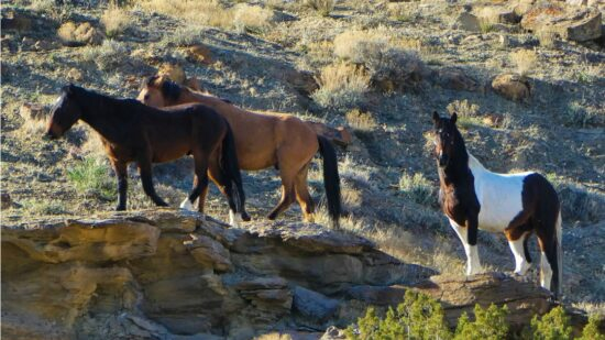 Little Bookcliffs Wild Horse Area in Western Colorado is free to access, and open year round. Here's what you need to know to see Colorado's wild horses.