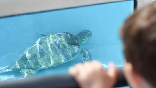 You can get up close and personal with sea turtles at Loggerhead Marine Life Center in Juno Beach, FL.
