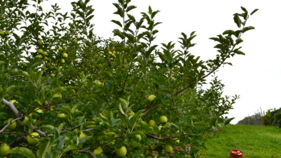 A visit to the orchard is more fun if you follow apple picking tips.