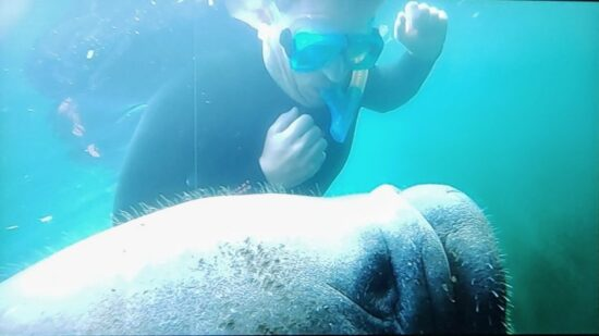 What It's Like Swimming with Manatees