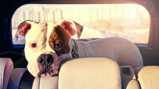 A white bulldog with brown coloring around its left eye stands in the back of a vehicle. It's staring expectantly at you.