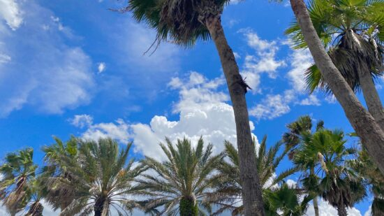 Palmetto trees and gorgeous blue sky of Jacksonville FL