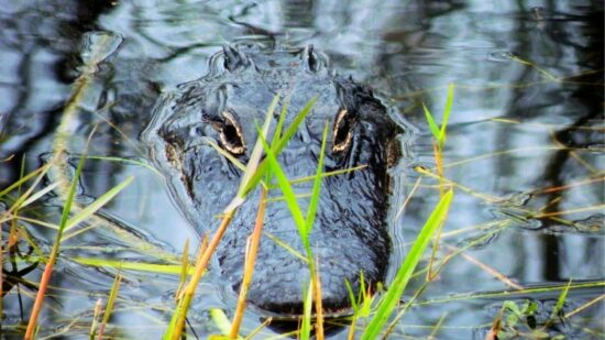 Airboat rides not far from Orlando! Get close to gators on their turf and have whole-family fun at our favorite airboat operator, Spirit of the Swamp.