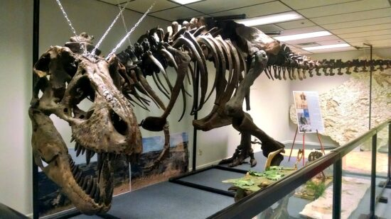 Tyrannosaurus Rex skeleton at the Earth Experience Middle Tennessee Museum of Natural History in Murfreesboro, TN