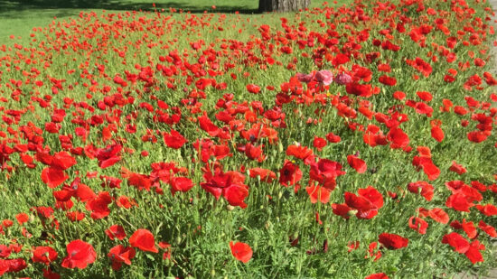 Central Texas spring's are blanket with wildflowers. Visit Georgetown, Texas and you will find a flower you won't find anywhere else - Red Poppies.   Georgetown TX Things to Do  