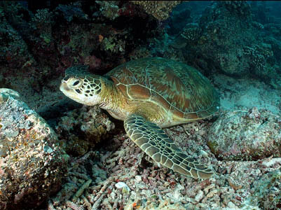 Sea turtle seen while scuba diving with children