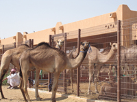 camelsoukAA